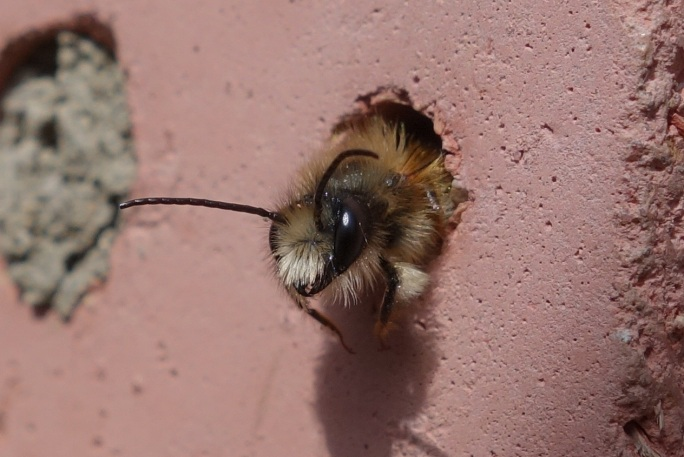Image result for red mason bee